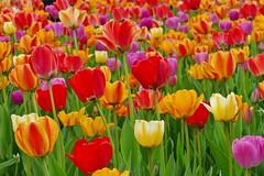 Panasonic FZ1000, Tulips, Botanical Gardens, Montréal, 20 May 2019 (57) (proacguy1) Tags: panasonicfz1000 tulips botanicalgardens montréal 20may2019