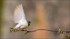 (c)WMH_2019_05_31_8047 Northern Parula (WesleyHowie) Tags: birds canada jerrylawrenceprovincialpark location northernparula novascotia provincialpark warbler wildlife
