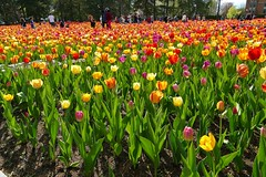 Panasonic FZ1000, Tulips, Botanical Gardens, Montréal, 20 May 2019 (55) (proacguy1) Tags: panasonicfz1000 tulips botanicalgardens montréal 20may2019