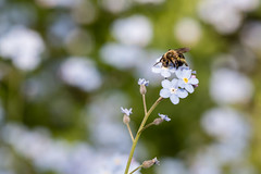 Forget-me-not (TudorCostache) Tags: bee flower forgetmenot