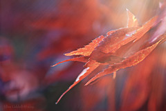 """Nature red in tooth.... (Elisafox22) Tags: elisafox22 sony ilca77m2 100mmf28 macro macrolens telemacro lens red leaves hsos acer smileonsaturday thingswithteeth leithhall gardens tree outdoors aberdeenshire scotland elisaliddell©2019"