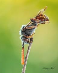 Macro insects (marianoabad1) Tags: mzuiko60mmf28macro mzuiko omdem1markii olympus insects insectos macro fotografíamacro wildlife wildlifephotography fotografíadenaturaleza nature naturephotography