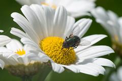 Schmeißfliege (G_Albrecht) Tags: calliphoridae insect pterygota asteriden asternartige bluetengewaechs bluetenpflanze fliegen fluginsekten insekt landschaft margeriten pflanze schmeisfliege tier umwelt zweiflügler