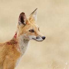 Deep Contemplation (just4memike) Tags: animal blurredbackground colorful eye fox fur grass nature wildlife explored