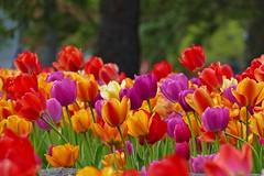 Panasonic FZ1000, Tulips, Botanical Gardens, Montréal, 20 May 2019 (56) (proacguy1) Tags: panasonicfz1000 tulips botanicalgardens montréal 20may2019