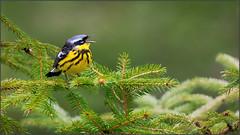 (c)WMH_2019_05_31_8357 Magnolia Warbler (WesleyHowie) Tags: birds canada jerrylawrenceprovincialpark location magnoliawarbler novascotia provincialpark warbler wildlife