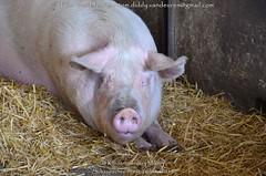 schaapscheerfeest 2019 (MrTDiddy) Tags: varken sus scrofa domesticus pig