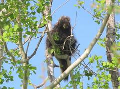 Porcupine high in a birch tree (yooperann) Tags: porcupine birch tree upper peninsula michigan sunny day blue sky spring