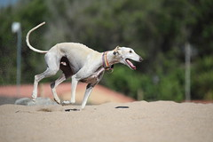 Go Forest go... (Nora077) Tags: pineda de mar playa galgo perro dog nora toth