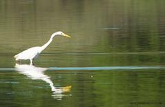 Grande Aigrette (kahem54) Tags: grandeaigrette oiseau migrateur eau pecheur nikon d5200 sigma150500 blanc etangs printemps meuse