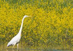 Grande Aigrette - (kahem54) Tags: grandeaigrette oiseau échassier migrateur blanc ailes bec eau étangs jaune nikon d200 sigma150500