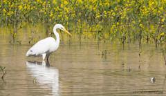 Grande Aigrette -- (kahem54) Tags: échassier grandeaigrette oiseau migrateur blanc eau étangs printemps nikon d5200 sigma 150500 jaune