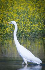 Grande Aigrette --- (kahem54) Tags: grandeaigrette oiseau migrateur etangs eau pêcheur ailes bec blanc échassier printemps