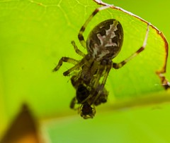 Pricey Catch For Food : Larinioides  species of Spider is hunting (abhijit.sen) Tags: tamron macro nature insect hunting prey spider