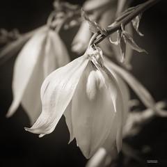 IMG_1230-Yucca tree blooms (Desert Rose Images) Tags: arizona usa tree blooms yucca ranch white black water flora gilbert preserve riparian