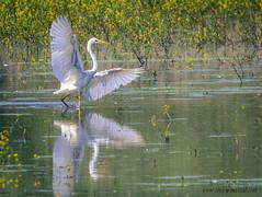 Grande aigrette-2 (kahem54) Tags: oiseaux aigrette grande migrateur blanc eau etangs meuse printemps nikon d5200 sigma150500