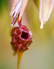 GONOCARPUS (abhijit.sen) Tags: tamron smallworld macro floral flower plant