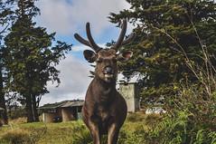 deer (ratpoisen) Tags: deer nikond5000 sri srilanka nature trip travel animals life