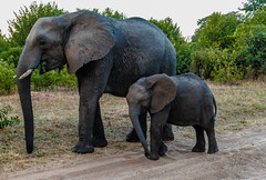 Chobe Natl Park, Botswana-2019-0003 (brantleyhighline) Tags: africa europe italy location odyssey safari southafrica