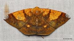 Geometer Moth, Acrosemia vulpecularia (Ecuador Megadiverso) Tags: andreaskay ecuador geometermoth geometridae id571 moth wildsumaco acrosemiavulpecularia