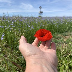 152 2019 poppy & linseed flowers in Quenington (Margaret Stranks) Tags: 152365 365days 2019 poppy linseed flowers windpump