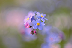 Forget-Me-Not (lfeng1014) Tags: forgetmenot flower flowermacro macro macrophotography depthoffield dof closeup bokeh canon5dmarkiii ef100mmf28lmacroisusm lifeng