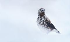 Nutcracker - Pähkinähakki (Erkka Hindberg) Tags: winter snow bird suomi finland nutcracker nucifragacaryocatactes pähkinähakki canon 1dsmkiii