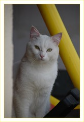 chat blanc (Christ.Forest) Tags: chat cats blanc regard félin sourd couleur cat white eyes gato katze