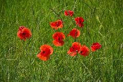 Poppy delight (echumachenco) Tags: flower plant poppy red grass green stem blossom spring may nikond3100
