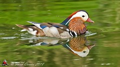 Mandarin Duck in a reflective mood. (id2770) Tags: mandarin duck nature colour reflection river wildlife ngc