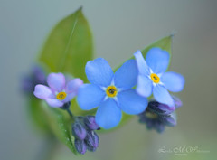 Forget Me Not (Lindaw9) Tags: spring flowers foliage may macro northern ontario forgetmenot