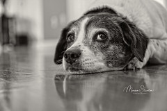 Are you pondering what I'm pondering? (mgstanton) Tags: diego dog birthday blackandwhite bw ponder sonya7iii dogyears age aging eleven seventyseven