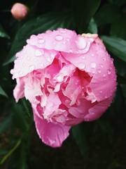 P e o n y (Helene Iracane) Tags: peony peonies pivoines pivoine rose pink huawei nature pluie rain goutte gouttes jardin garden beautiful fleur fleurs flower flowers droplets