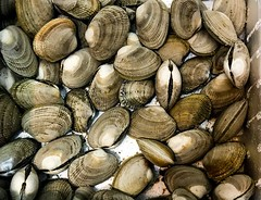 Alive clams kept in water - stock phot (DigiPub) Tags: 1153026595 gettyimages clams bivalve