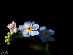 forget-me-not (Lothar Malm) Tags: forgetmenot vergissmeinnicht flower blue