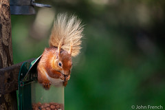 Red Squirrel (John French 108) Tags: red england fur mammal squirrel unitedkingdom eating wildlife tail nuts feeder poole brownseaisland arboreal omnivorous rodent dorset