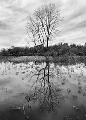 Solitary (mswan777) Tags: water reflection tree forest landscape outdoor nature quiet scenic new buffalo michigan galien river apple iphone iphoneography mobile sky cloud monochrome black white ansel