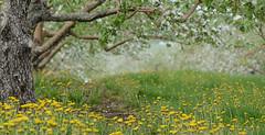 DSC_8233a (Fransois) Tags: fleurs flowers pommiers appletrees dof bokeh stjosephdulac québec printemps spring jaune yellow