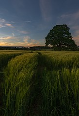 Lon tree and wheat field (gaztotalmods) Tags: