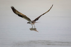 Osprey with Fluke (lablue100) Tags: osprey birdsofprey animal fishing fish fluke catch water sea action hunting wingnspan talons food hungry bay nature landscapes speed fast beauty male