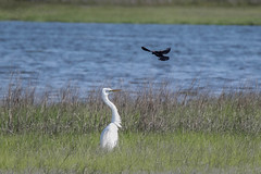 Egret being Attacked by Redwing Blackbird (lablue100) Tags: birds animals wings egret large small action redwingblackbird blackbird protecting nest babies marsh water bay flying fast landscapes spring