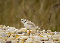Piping Plover (lablue100) Tags: pipingplover birds bird small plover beach nature action shells colors landscapes spring sand walking wings