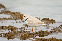 Piping Plover (lablue100) Tags: pipingplover bird birds animals water seaweed beach legs colors sea bay action nature landscapes cute feathers protective