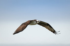 Male Osprey in Fight (lablue100) Tags: osprey birdsofprey flying flight wings wingspan fast beauty action nature animals animal sea maleosprey male landscapes colors feathers