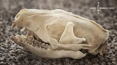 Hedgehog skull (John Chorley) Tags: hedgehog skull hedgehogskull bones johnchorley 2019 nature macro macrophotography closeups closeup