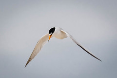 Least Tern in Flight (lablue100) Tags: leastterns leasttern animals birds fast wings annoyed buzzingme divebombing small sky flying flight colors nature landscape protcting