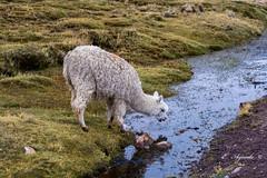 Alpaca (E. Aguedo) Tags: alpaca camelid southamerica arequipa colca pasture woolly water stream altitude wildlife animal peru mountain