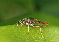 Parasitic Wasp (Cratichneumon) (nehall) Tags: wasps parasiticwasps insects macros cratichneumon