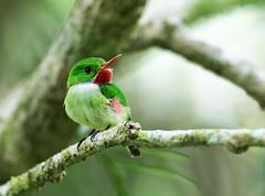 Jamaican Tody (nickathanas) Tags: todidae jamaicantody todustodus