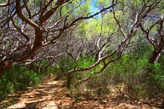 Sentier ombragé - peinture à l'huile (thierrybalint) Tags: sentier path pinède nikoniste thierrybalint peinture flore flora painting pinewood naturebynikon